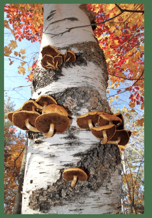 Mushroom Tree-rounded